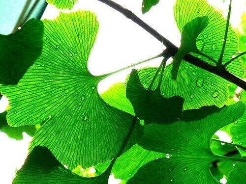 Neidonhiuspuu hoitaa korvia