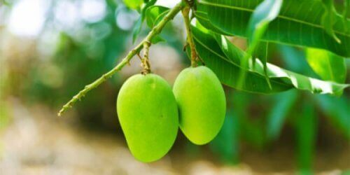 mangot ja mangopuun lehdet