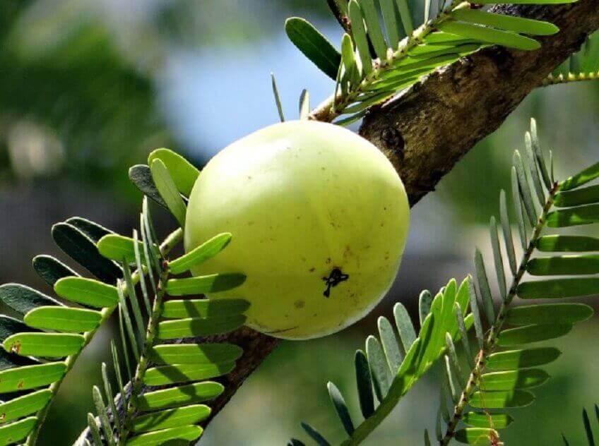Amblapuun hedelmät puhdistavat haimaa