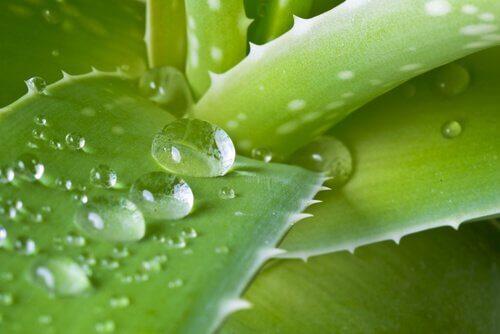 Aloe vera on ympäri maailmaa käytetty lääkekasvi