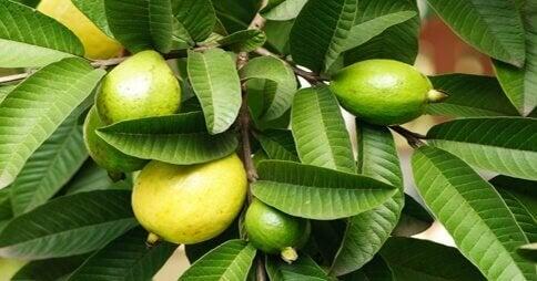 Guavan lehdet ovat tehokas apu runsaaseen valkovuotoon
