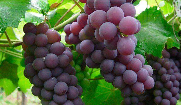 Viinirypäleissä on paljon salisylaatteja, jotka ehkäisevät veren hyytymistä