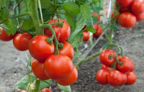 tomaatit kasvamassa