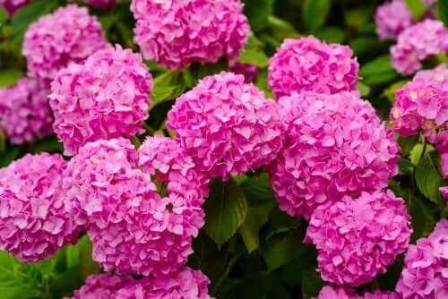 Hortensiat ovat myrkyllisiä kasveja