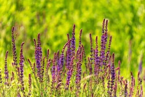 Mazatecinsalvia on vaarallinen kasvi