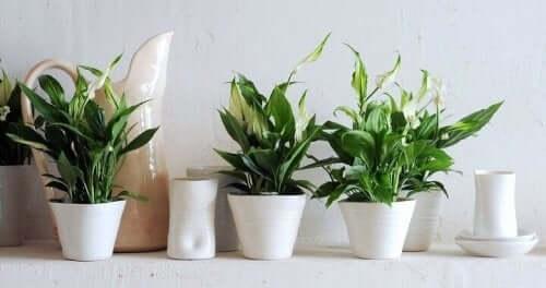 Joidenkin sisäkasvien hoito on helpompaa kuin toisten