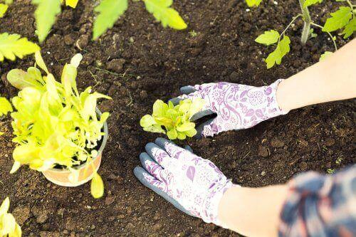 Kasvien uudelleenistutus on tehtävä oikein