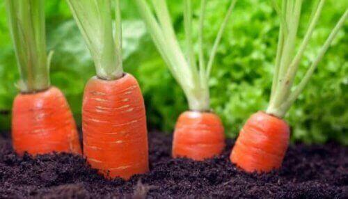 porkkanat kasvamassa