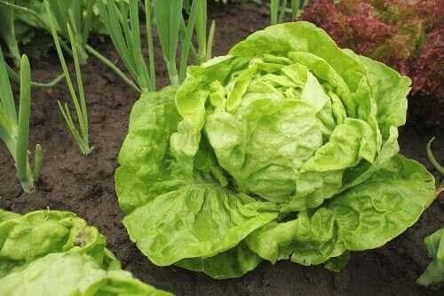Eri salaattilajikkeita ja niiden kasvattaminen