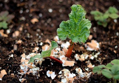 Orgaaninen lannoite on loistava keino ottaa vanhat munankuoret hyötykäyttöön myös kotona