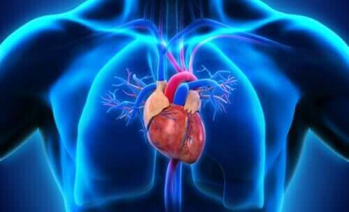 Sydän ihmisen kehossa.
