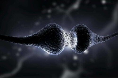Myasthenia gravisissa elimistön oman immuunijärjestelmän toiminta häiriintyy ja se hyökkää lihaksen liikkeestä vastaaviin lihasreseptoreihin