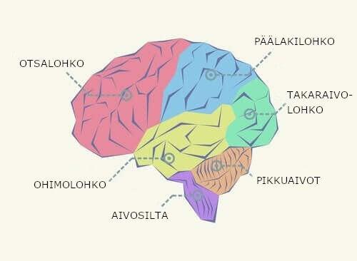 Aivolohkot: osien jakautuminen ja toiminnot