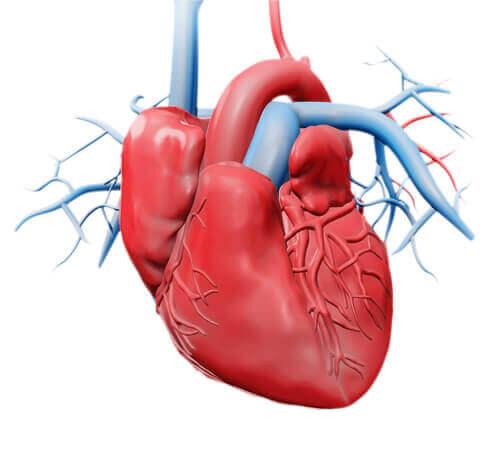 Sydän koostuu neljästä eri lokerosta ja läpästä, joiden avulla veri virtaa aina oikeaan suuntaan ja oikealla voimakkuudella