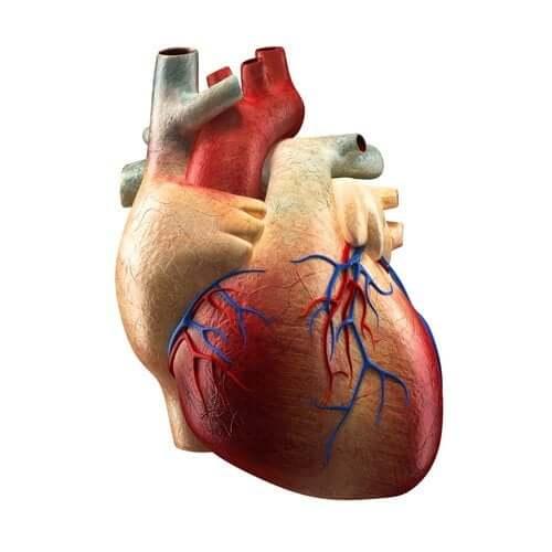 Sydämen eri osat ja niiden toiminnot