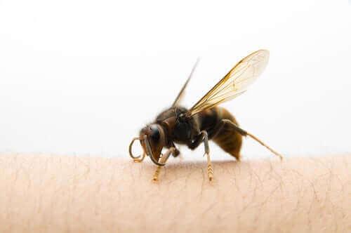 Miten toimia aasianherhiläisen pistettyä?