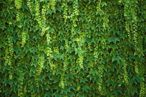 Hedera helix on muratteihin kuuluva lääkekasvi, joka lasketaan araliakasvien heimoon