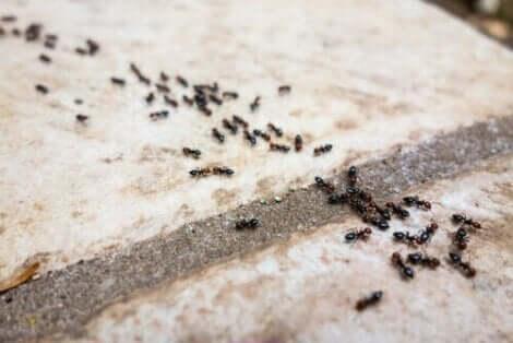 Muurahaiset voi karkottaa kodista luonnollisin konstein
