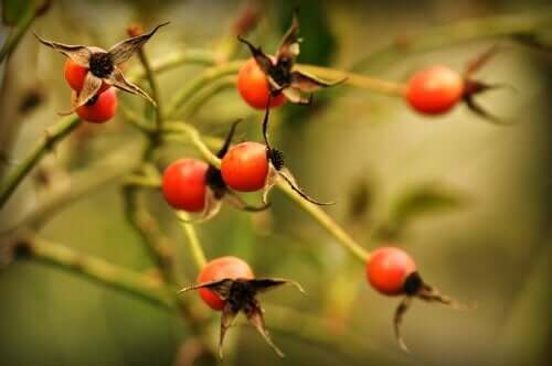 Ruusunmarjatee: hyödyt ja varotoimet