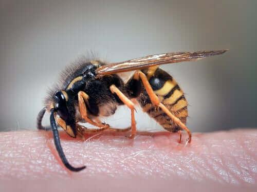 Hoida ampiaisen pisto kotikeinoin
