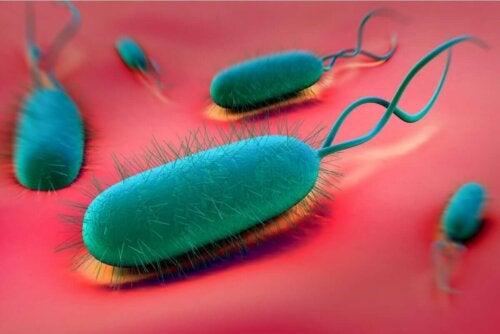 Helicobacter pylori -nimisen bakteerin aiheuttama infektio on yksi mahahaavaan johtavista yleisimmistä tekijöistä