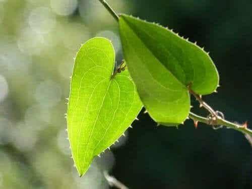 Sarsaparillan hyödyt, riskit ja sivuvaikutukset