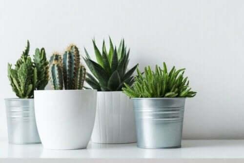 Kaktukset ovat kestäviä kasveja.