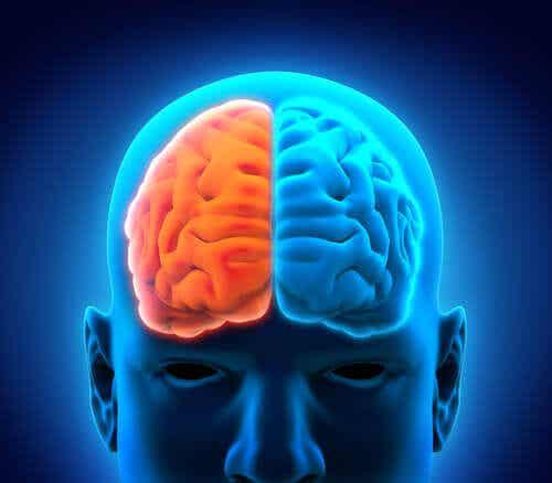 Aivojen rakenne selitetty.