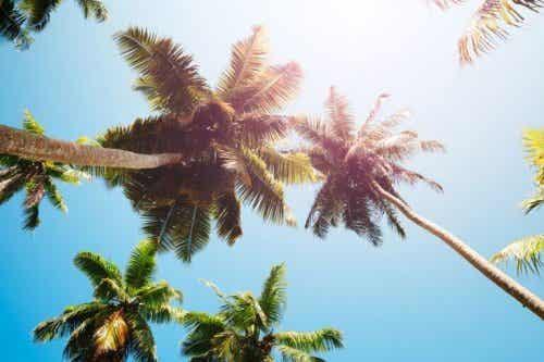 Palmun sydämen saanti palmuista