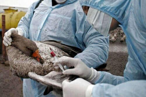 Lintuinfluenssan oireet, diagnoosi ja hoito