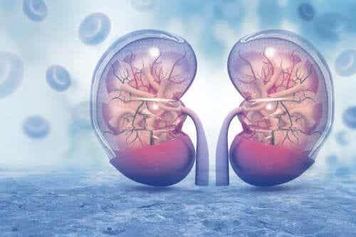 Hantavirusinfektio voi vaikuttaa munuaisiin.