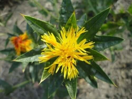 Safloriöljyn käyttötavat, hyödyt ja ominaisuudet